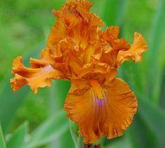 Iris 'Erotic Touch'