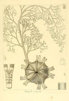 Descrizione e notomia degli animali invertebrati della Sicilia citeriore : osservati vivi negli