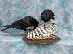 Taxidermy Carrion Crows Gothic | eBay