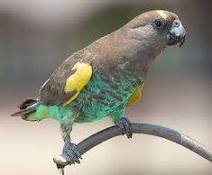 Meyers Parrot! <3