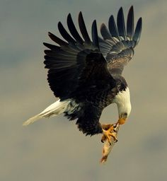 Bald eagle eating on the go ...