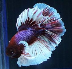 Underwater Rainbow's underwater ART! Halfmoon Male Live Betta Fish