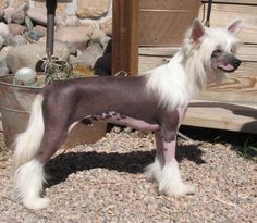 How to groom your Chinese Crested