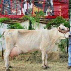 De Asocrica Oriente Raza Carora  Gran Campeona Productora de Leche Carora 2012  *SI1507105 MAS PURGAS 15071, hija de *SI1313101 ALFREDO Y *SI1153698 BUENA PURGA (GENITOR T.E. x PURGA Y PA FUERA) de Hda. Sicarigua, C.A. con 101,94 Kgs leche en 4 ordeños para un promedio de 50,97 Kgs leche por día