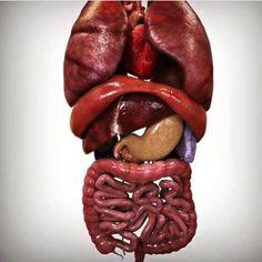 Un po' di organi splancnici: polmoni, cuore, diaframma, fegato, stomaco, pancreas, milza, intestino tenue, intestino crasso, canale anale. #visceri #torace #addome #anatomia #rapporti