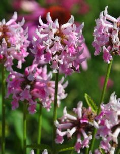 Betony, Stachys officinalis 'Pink Cotton Candy'  Height 45-50 cm. Spread: 45 cm. Hardy zones 4-9
