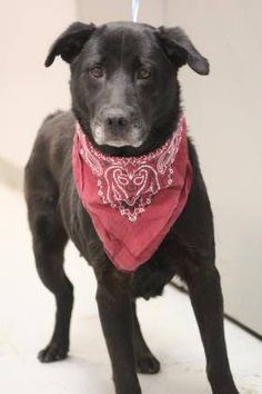 ADOPTED>NAME: Tanya  ANIMAL ID: 34750663  BREED: Retriever mix  SEX: female(spayed)  EST. AGE: 4 yr  Est Weight: 50 lbs  Health: heartworm pos  Temperament: dog friendly, people friendly  ADDITIONAL INFO: RESCUE PULL FEE: $35  Intake date: 2/28  Available: Now