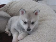 Klee Kai puppy (miniature Husky) I want one. Alaskan Klee Kai Puppy, Alaskan Husky, Siberian Husky Dog, Cute Husky, Husky Puppy, Miniature Husky, Baby Animals, Cute Animals, Cats For Sale
