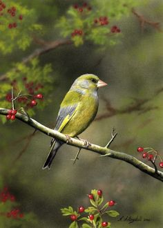 "Photo from album ""Nigel Artingstall, худ-к"" on Yandex. British Wildlife, Wildlife Art, Greenfinch, Beautiful Fish, Bird Illustration, Sea And Ocean, Little Birds, Pet Birds, Birds 2"