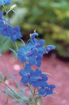 DELPHINIUM - SUMMER COLORS DWARF MIX - Pinetree Garden Seeds - Flowers