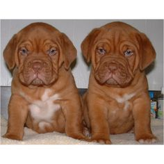 Gorgeous Dogue puppies