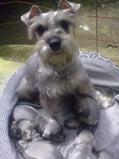 A sweet mommy mini Schnauzer and her adorable new puppies, makes your Heart melt❤️ Link: https://www.sunfrog.com/search/?64708&search=schnauzer&cID=62&schTrmFilter=sales