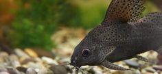 Adult Featherfin Catfish Synodontis Eupterus