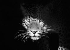 Black and white leopard Cute Cats And Dogs, Big Cats, Cool Cats, Animals And Pets, Baby Animals, Funny Animals, Cute Animals, White Aesthetic Photography, Black And White Art Drawing