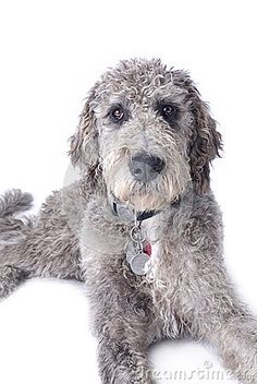 I hate poodles but this Great Dane poodle mix is awesome
