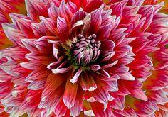 Beautiful #Dahlia by Michele Avanti #flowers