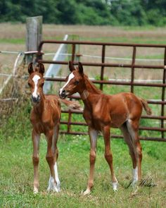 Twin Arabian foals- So what should we get into today sis?  Shhhh, they're watching us, don't say anything and look all cute and innocent.