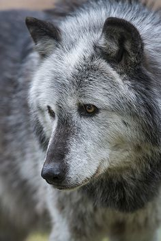 Wolf  so absoluterly beautiful, and so persecuted