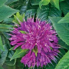 monarda_pardon_my_purple.jpg (500×500)