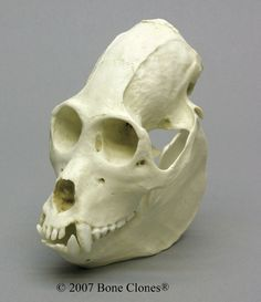 Howler Monkey Skull - Bone Clones, Inc. - Osteological Reproductions