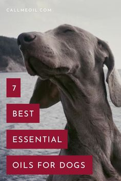 It has been proven that essential oils can help make our fourlegged friends live healthier happier and better Using aromatherapy for your dog is a great way to make the m. Essential Oils For Migraines, Copaiba Essential Oil, Essential Oils Dogs, Organic Essential Oils, Essential Oil Diffuser, Essential Oil Blends, Perfume Diesel, Young Living, Pets