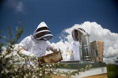 Bee, Wings, Honey Bees, Bees