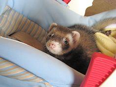 Aug 8: Vet (cute ferret photos!)