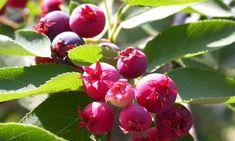 Vypěstujte si na zahradě muchovník Flora, Fruit, Garden, Maine, Garten, Lawn And Garden, Plants, Gardens, Gardening