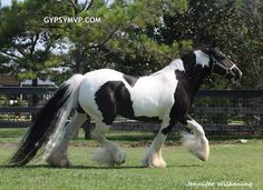 Gypsy Vanner Horses | Mare | Black and White | Layla (Beautiful, Beautiful Specimen)