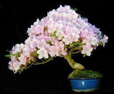 盆栽丼 BONSAI★DON 特盛り入りました~♪-桜の盆栽