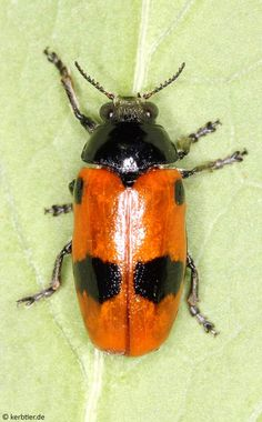 Clytra laeviuscula