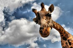 Amazing Photography | Amazing Photography of Giraffe | Animal Vista