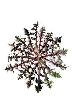 Roseta basal de hojas de cerraja. Borde del embalse de Gasset. Fernán Caballero. (Ciudad Real)