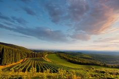 Chianti Wine country, vineyards and olive trees