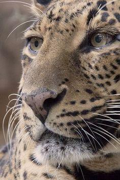 Leopard profile. Magnificent.                                                                                                                                                      More