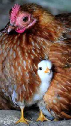 A Mothers love ! A Mothers love ! Beautiful Chickens, Beautiful Birds, Animals Beautiful, Farm Animals, Animals And Pets, Cute Animals, Chickens And Roosters, Bantam Chickens, Cute Chickens