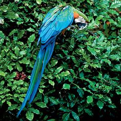 Macaws, or guacamayos as they're called in Puerto Rico, are not endemic to the island but they have managed to establish themselves in the wild.
