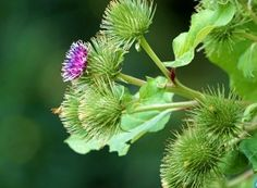 Flori de brusture Healing, Nature, Tools, Fitness, Medicine, Horsehair, Insects, Plant, Gymnastics