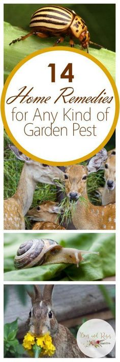 14 Home Remedies for Any Kind of Garden Pest| Garden, Gardening Hacks, Garden Pest Control, Gardening 101, Natural Pest Control, Natural Pest Control Hacks, Popular Pin #gardenpesttips