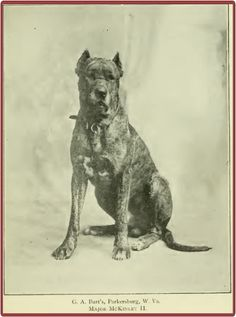 """""""Major McKinley"""", American Great Dane, 1897.  William McKinley was called """"The Major"""" because of his service in the Civil War. He was inaugurated in 1897, so this beautiful dog was clearly named after the new President!"""