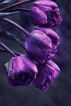 La Vie Rose ~ Purple Tulips