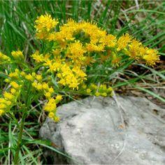herbstblumen garten verschönern gartenpflanzen Gewöhnliche Goldrute