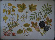 ? - [Boomvruchten en -bloemen: Braam, Esdoorn, Lijsterbes, e.a.]