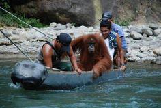 Orangutans travel for free at this river crossing in Bukit Lawang, Sumatra