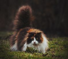 Mille the Norwegian Forest Cat