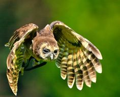 Owls are a large group of predatory birds, meaning that they usually hunt for their food. There are about 200 different owl species. These species can be divided into two groups, known as barn owls and typical owls. - http://ourworldsview.com/owls.html