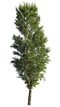Nero Pioppo - alberi ritaglio