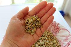 Filizlendirme aslında kurubaklagil, tohum ve tahılları tekrar yeşillendirmek, canlandırmak ve hayat vermek oluyor. Yapımı da çok basit..