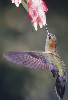 Hummingbird and pink flower