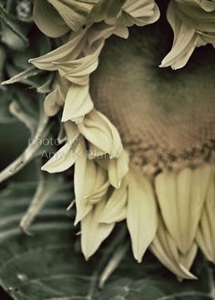 5x7 Loving Sunflower photograph print by cfdesignz on Etsy, $8.00